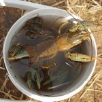 Crawfish caught on Dogtown Lake