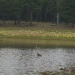 heron on Dogtown Lake