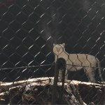 White Tiger Habitat at the Mirage