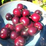 Cherries, CJ Olson Cherries, Sunnyvale, Ca