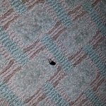One of several dead beetles on the carpet in the middle of the room