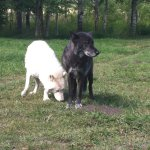 Two Wolfdogs!