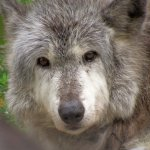 Wolf Sanctuary of PA Foto