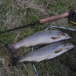 Some wild brown trout from Lough Arrow