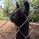 There are llamas!!