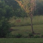 Deer in the trees outside spring hill suites