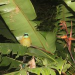 Sleeping Blue-Crowned Motmot