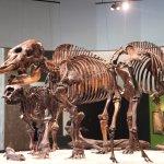 3 Skeletons...extinct camel on right.