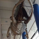 Awesome whale fossil and whale story....go check it out.
