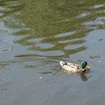 Un canard sur le Loiret