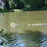 Cygne sur le Loiret