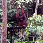 Semenggoh Nature Reserve Foto