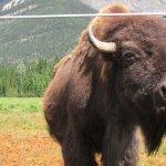 Rocky mountains buffalo ranch (2)