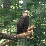 An amazing Bald Eagle.