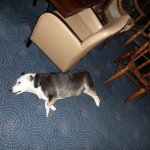 Einstein, one of the resident dogs, relaxing on the floor of the bar