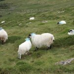 Constant baa-ing was the equivalent of bird chirping on a mountain hike :)