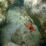 Snorkeling among boulders in fron of beach - squirrelfish