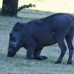 Warthog's and baboons are plentiful on the grounds
