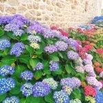Les magnifiques hortensias