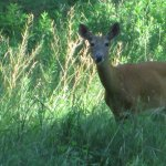 White-tailed deer.   Brown stalks are garlic mustard going to seed.