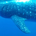 Amazing whale shark experience!