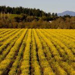 Russian River Vineyards Mustard season