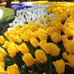 Фестиваль тюльпанов парк Эмирган