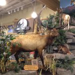 Cabelas - Roosevelt Elk - world's record for antler size