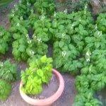 Le piante di basilico di Antonio