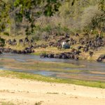 Large herd of water buffalo -- as we were checking in