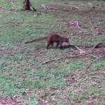 Keep your eyes open & you'll see coatimundi and agouti right from the resort