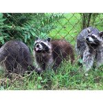 friendly racoons