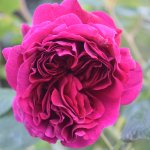 A beautuful fragrant rose