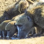 Baboons at the waterhole