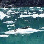 Seals (Tracy Arm Fjord)