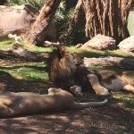 Big kitties! African Lions.