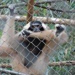 Foto de Gibbon Rehabilitation Project