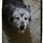 Loup noir de l'ouest canadien