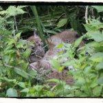 Chaton lynx Boréal