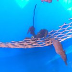 Seahorses in a tank