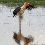 Yellow-billed Stork, Lake Manyara. Tanzania