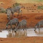 Zebras at waterhole, Tsavo West, Kenya