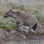 Spotted Hyena, Amboseli