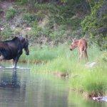 Moose at Fishercap Lake