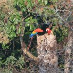 Scarlet Macaws viewed from terrace