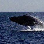 Baby humpback breaching