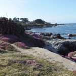 Beautiful Pacific Grove Ice Plant in Spring