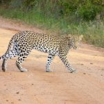 This juvenile leopard hung around for 15 minutes