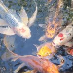 Koi at Avalon pond on patio