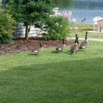 The geese are everywhere!